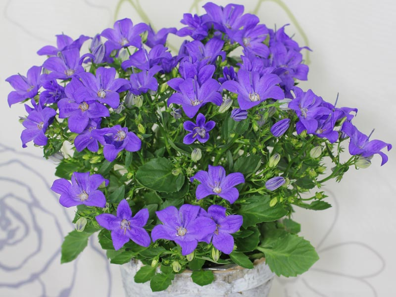 Campanula Magic Mee