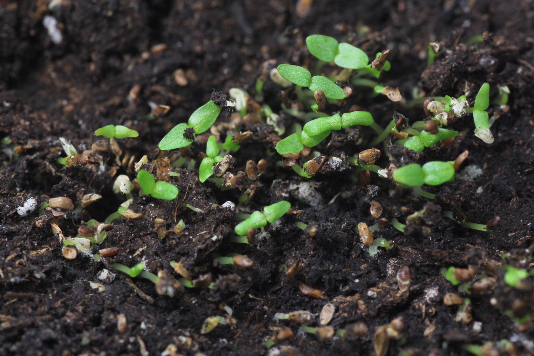 Glockenblumen vermehren