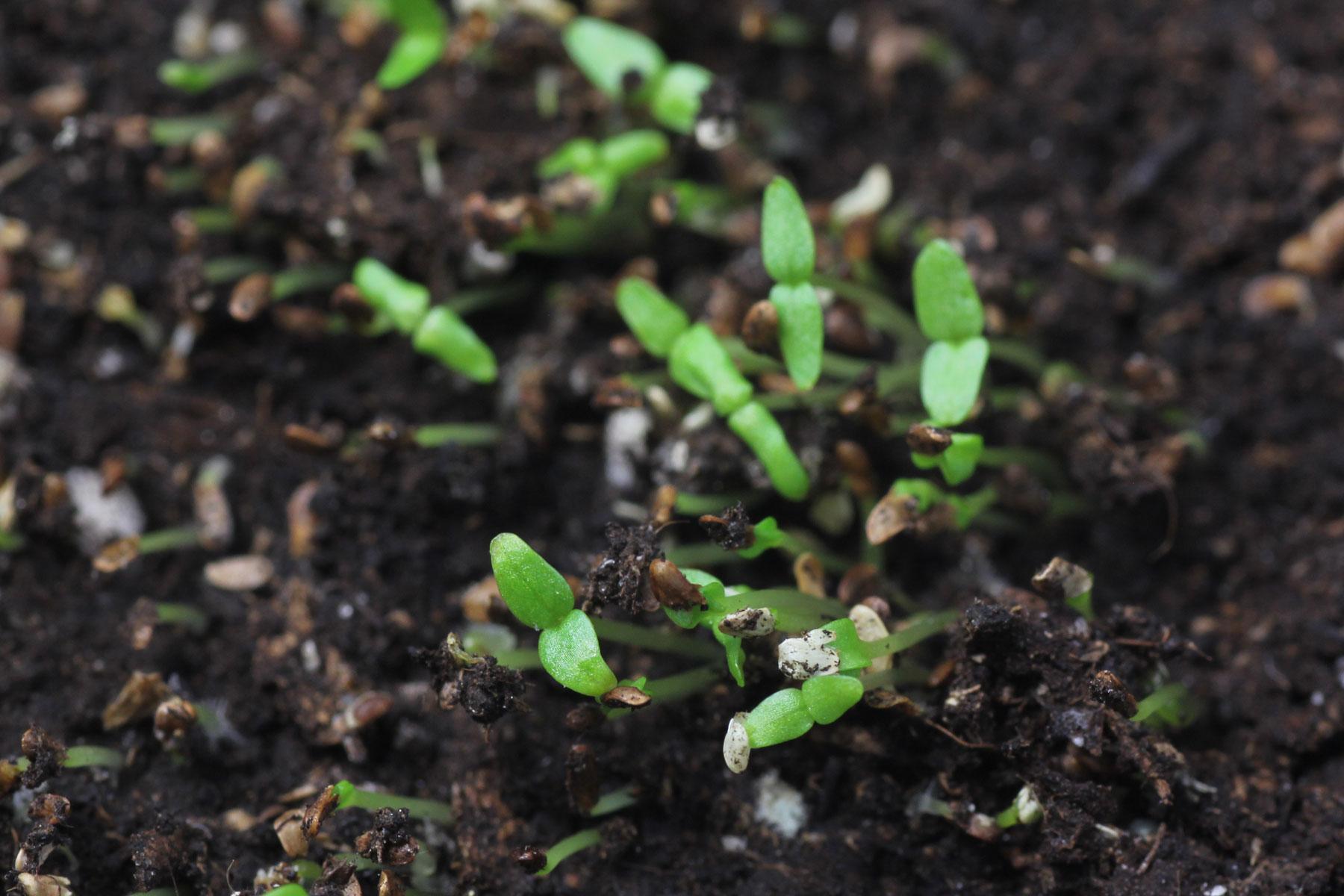 Marien-Glockenblume Samen