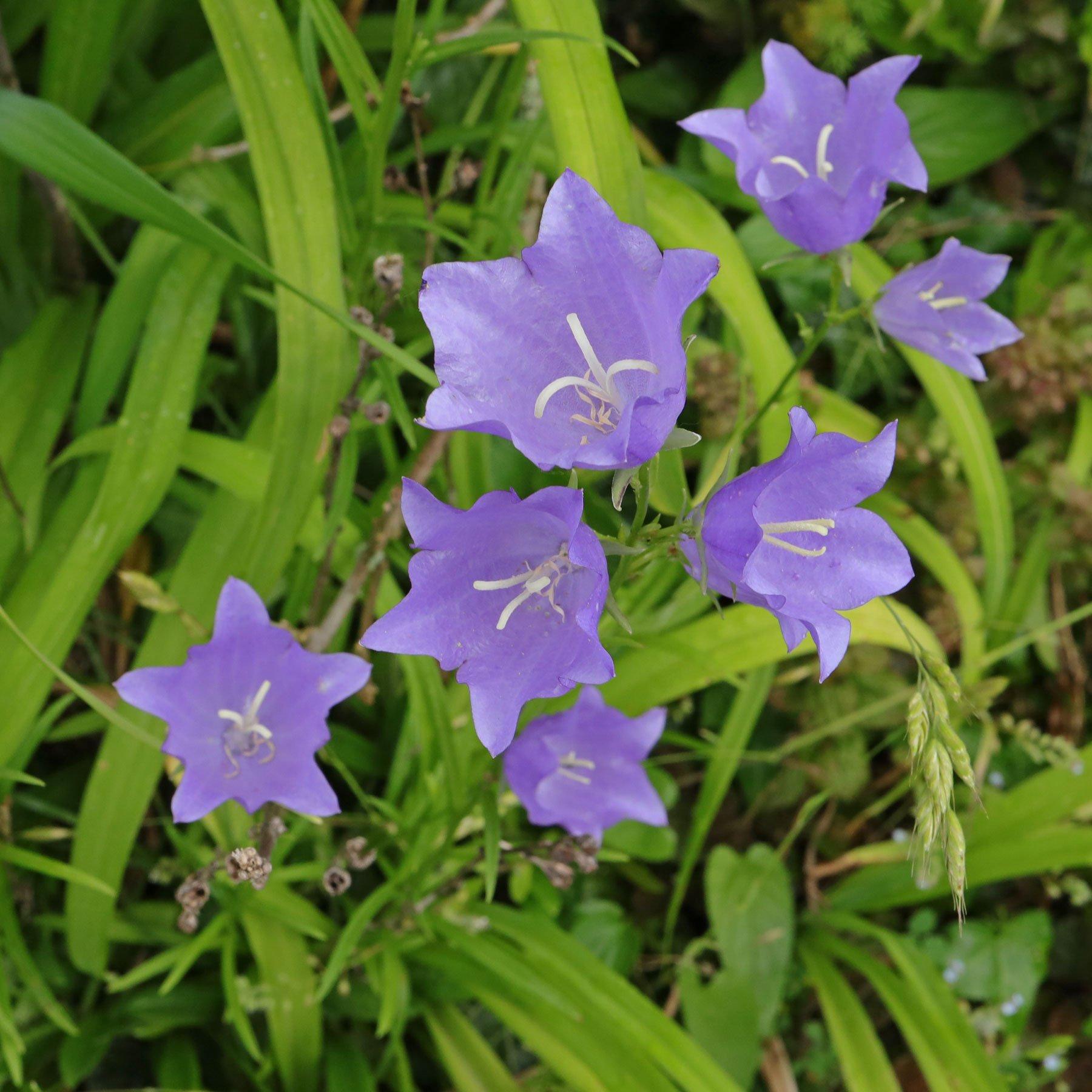 Glockenblume Blüten